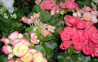 Tips For Growing Begonias Begonia Care Information How To Grow