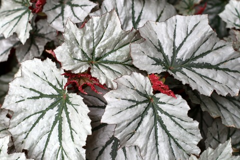 how to grow angel wing begonias from cuttings