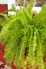Boston Fern Care