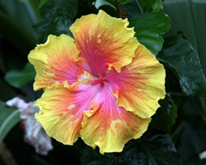 Yellow and Pink Hibiscus Flower