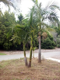 Bangalow Palm Tree