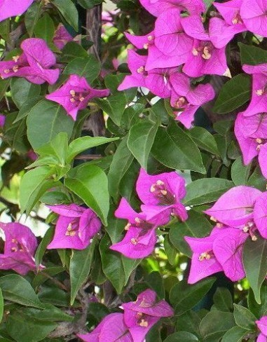 Tropical Vines Perennial Flowering Vines Annual Vines Fast