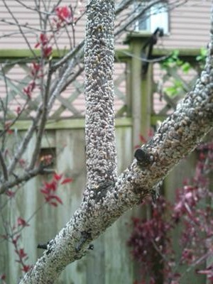 Cherry Blossom Tree Problem