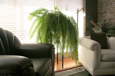 Tropical Boston Ferns Boston Fern Plant Care