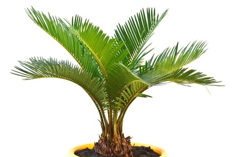 Indoor Palm Plants http://www.tropical-plants-and-flowers-guide.com/indoor-palm-tree-care.html