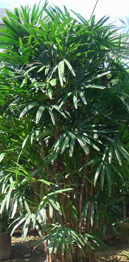 Indoor Lady Palm Tree