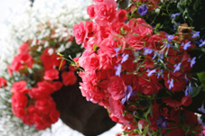 Outdoor Begonias in Hanging Basket