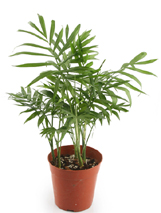 Indoor Palm Plants http://www.tropical-plants-and-flowers-guide.com/indoor-palm-trees.html