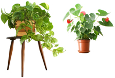 tropical house plants tropical house plants indoor house plants