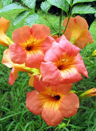 tropical vines, perennial flowering vines, annual vines, fast, Natural flower
