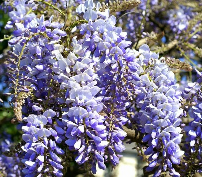 How To Grow Chinese Wisteria Wisteria Sinensis Care Growing
