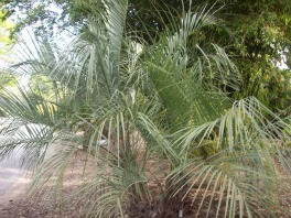 Growing Palm Trees