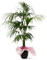 Indoor Kentia Palm Tree