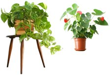 tropical houseplants - Tropical House Plants