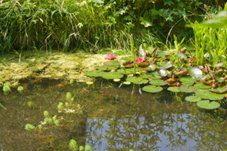 Water Garden Pond Plants
